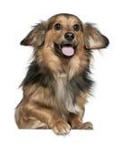 6达克斯猎犬老年 免版税库存图片