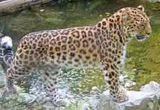 6阿穆尔河豹子 库存照片