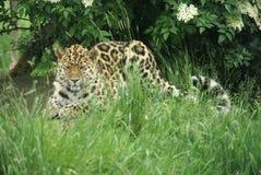 6阿穆尔河豹子 免版税库存图片