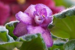 6非洲紫罗兰 库存图片