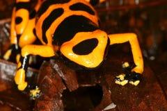 6 żab pozycja trujący żółty Obrazy Stock