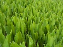 6 πράσινα βγάζουν φύλλα Στοκ Εικόνα