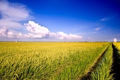 6 σειρές ρυζιού πεδίων Στοκ εικόνες με δικαίωμα ελεύθερης χρήσης