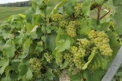 6 виноградин шампанского epernay Стоковое фото RF