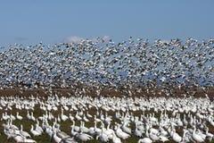 6 гусынь белых Стоковая Фотография