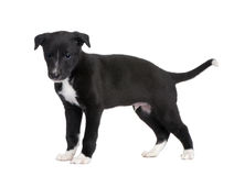6 неделей щенка борзой стоковое изображение rf
