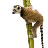 6 неделей lemur catta замкнутых кольцом стоковые изображения