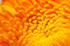 6 серий хризантемы золотистых Стоковое Изображение RF