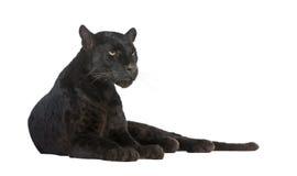 6 черных лет леопарда стоковая фотография