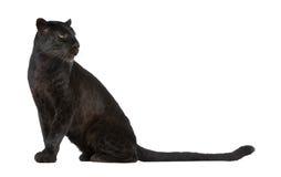 6 черных лет леопарда Стоковые Фото
