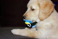 6个金黄老小狗猎犬星期 免版税库存照片
