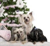 6, 4 e 9 anni crestati cinesi dei cani, Immagine Stock Libera da Diritti