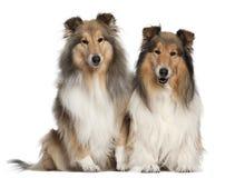 6 7博德牧羊犬老坐的年 免版税库存图片