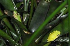 6 żab dwa Obrazy Royalty Free