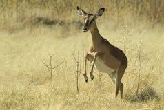 6 afrikanska djur Arkivfoton