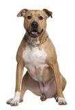 6 amerikanska gammala staffordshire terrierår Fotografering för Bildbyråer