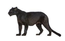 6 ans noirs de léopard Image libre de droits