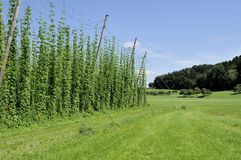 6 baden蛇麻草种植园 免版税图库摄影