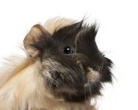 6 barn för pig för guineamånader gammala peruanska Royaltyfri Foto