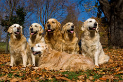 6 beautiful Golden Retrievers on autumn leaves Royalty Free Stock Photo