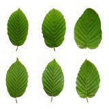 6 Beech Leafs Stock Image