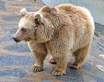 6 brown bear syryjczyk obrazy stock