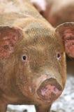 6 bruka pigserie Fotografering för Bildbyråer