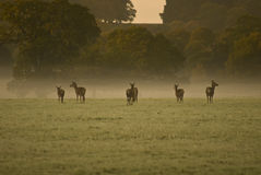 6 Buck on Green Grass Field Royalty Free Stock Photos