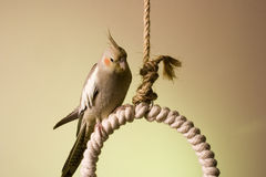 6 canelle小形鹦鹉 图库摄影