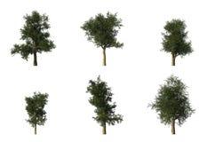 6 cg grupowych platanus drzew Zdjęcia Royalty Free