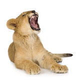 6 cub μήνες λιονταριών Στοκ Εικόνα
