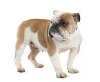 6 engelska gammala år för bulldogg Arkivbilder