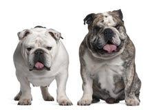 6 engelska gammala år för bulldoggar Royaltyfria Foton