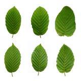 6 folhas da faia Imagem de Stock