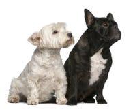 6 franska höglands- gammala västra år för bulldogg Arkivfoton