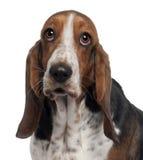 6 gammala år för bassetthund Royaltyfri Foto