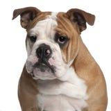 6 gammala engelska månader för bulldogg Arkivfoton