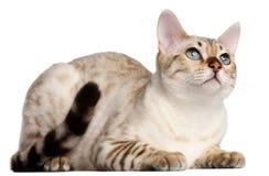 6 gammala liggande månader för bengal katt Royaltyfri Foto