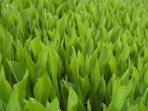 6 gröna leafs fotografering för bildbyråer