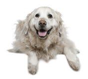 6 half labrador liggande gammala retrieverår Arkivfoto