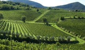 6 italienska vingårdar royaltyfria foton