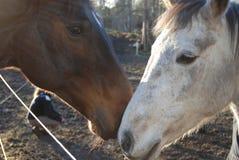 6 kierowniczy koń Fotografia Stock