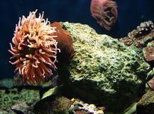 6 korali actinias Obraz Royalty Free