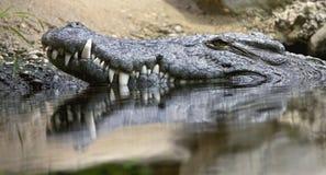 6 krokodil nile Arkivfoton