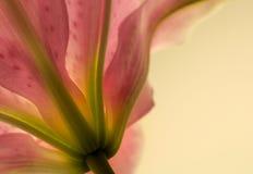 6 lilly Стоковое Изображение