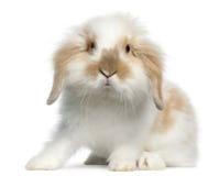 6 lop gammal kanin för månader arkivbild