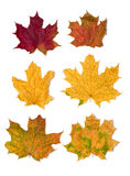 6 maple leaves. Image of six maple leaves. Isolated on white background Stock Images