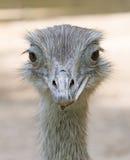 6 nandu驼鸟 免版税库存照片