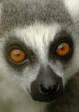 6 ogoniaści lemurów ringowych Zdjęcie Royalty Free