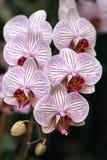 6 orchidea Fotografia Royalty Free